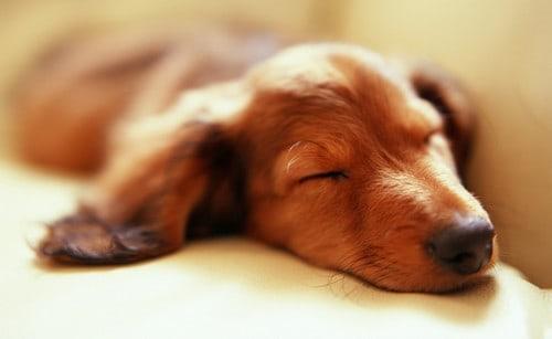 A Dog Sleeping Featured
