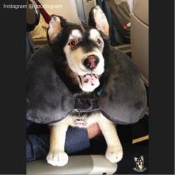 Airplain Dog