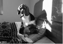 Bed Dog