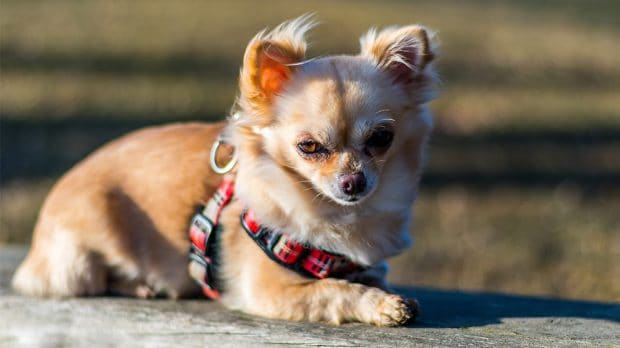 Top 6 Best Harnesses For Chihuahuas 2019 Reviews