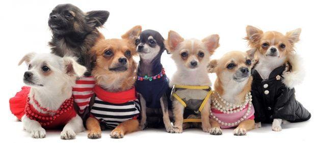 Harnesses for Chihuahuas