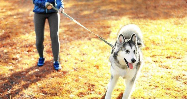 Harnesses for Siberian Husky