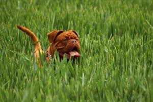 Mastiff in the grass