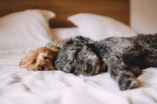 dogs sleeping in bed