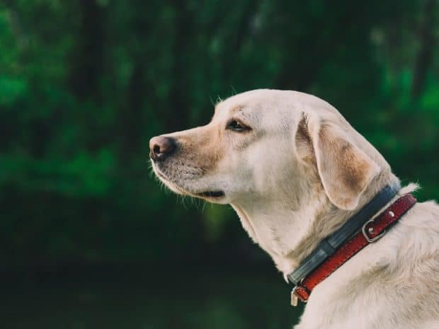 Best Dog Harnesses for Golden Retrievers