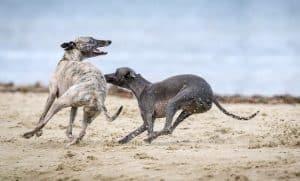Greyhounds running around