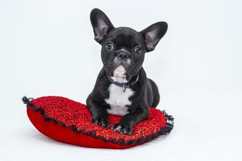 bulldog-puppy-dog-pet