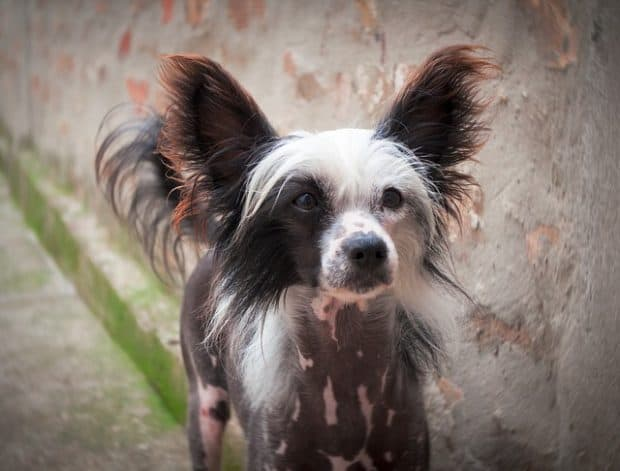 chinese crested puppy dog