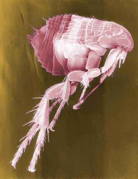 What Do Flea Bites Look LIke