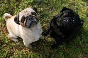 Pugs begging for food