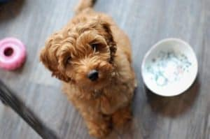 Labradoodle Waiting for Food