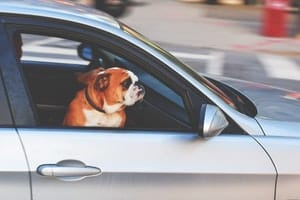 best dog car seats - bulldog in car