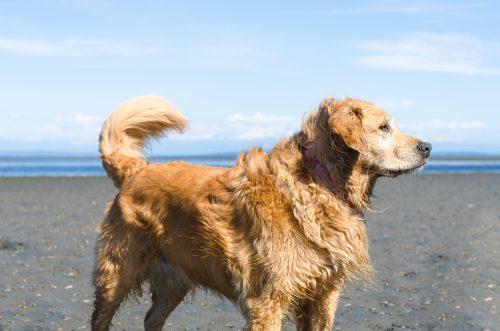 Golden Retriever on Beach