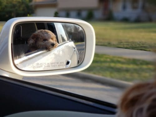 dog in car with head out of the window