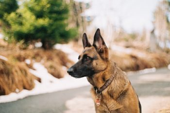 Best Crates for German Shepherds