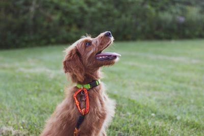 dog with training collar sitting down